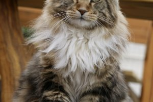 Burning Sky Absolon Maine Coon