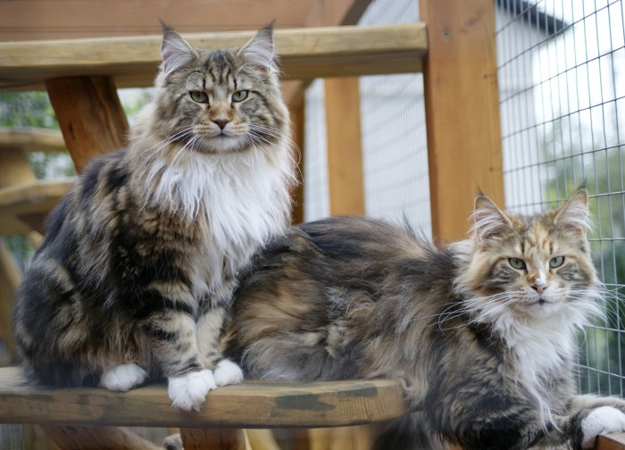 burning sky maine coon kennel